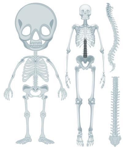 Skelettsystem für den Menschen