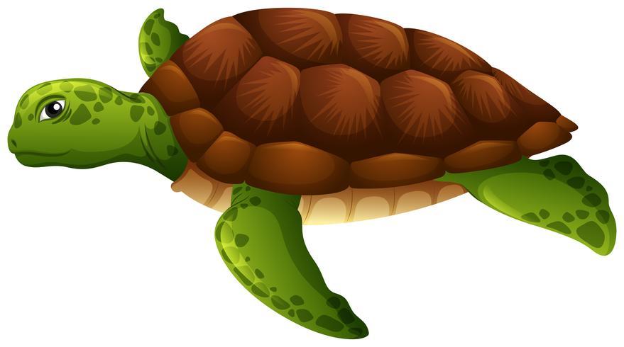 Fundo branco tartaruga verde