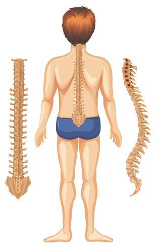 Menselijke anatomie van rug op witte achtergrond