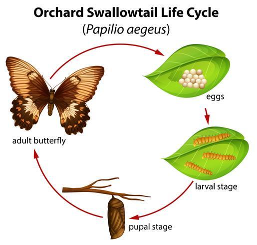 Huerto cola de golondrina ciclo de vida vector