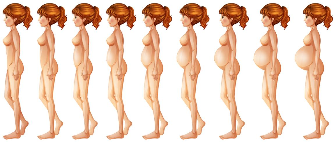 Verschiedene Phasen der Schwangerschaft
