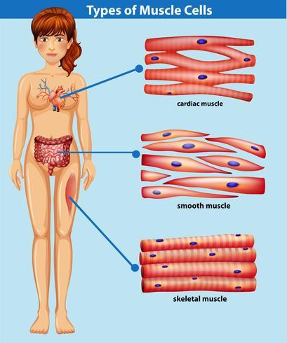 Eine menschliche Anatomie des Muskels
