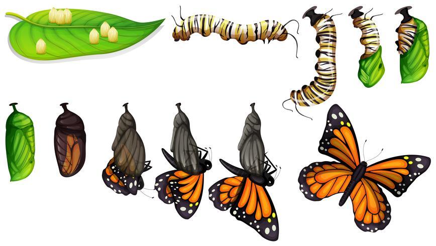 Il ciclo di vita della farfalla vettore