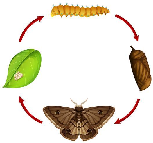 Concepto de ciclo de vida de la polilla vector