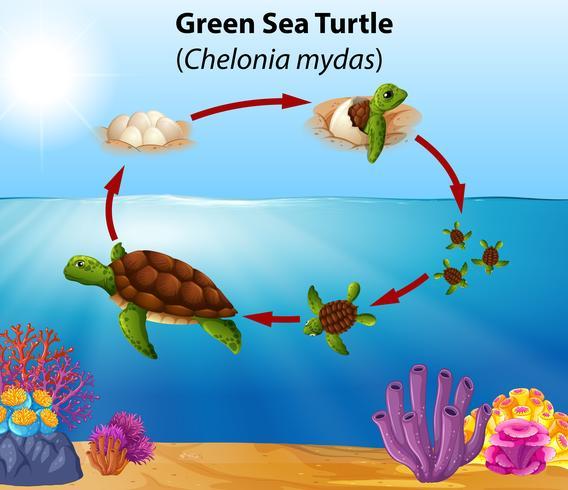Ciclo de vida de la tortuga verde vector