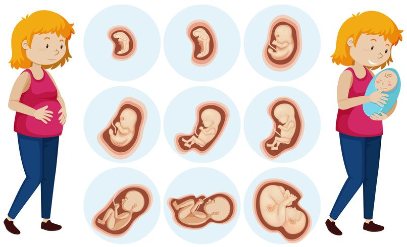 A Set of Human Embryo Development