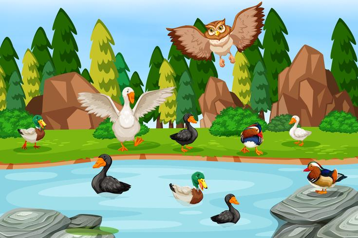 Many duck at the pond
