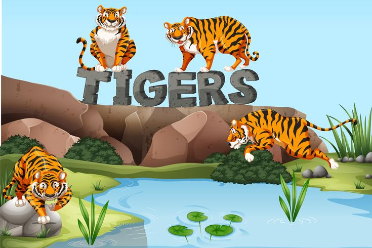Wild tigers by the pond