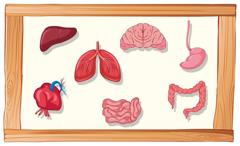 Human organs in wooden frame