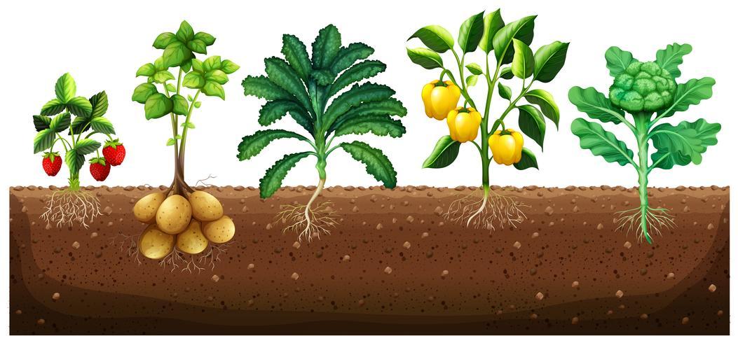 Många typer av grönsaker som planterar på marken vektor