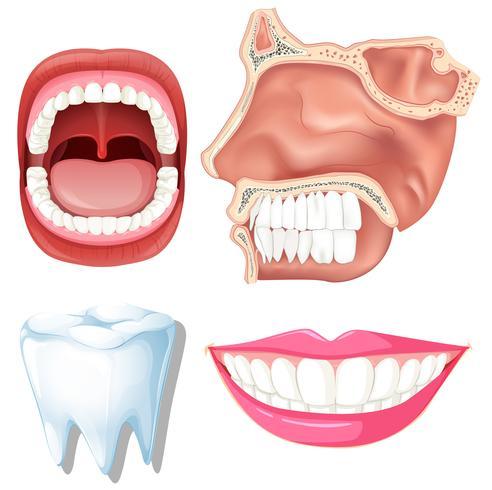 Anatomie van menselijke tanden