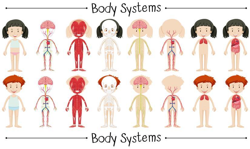 Lichaamssysteem van jongen en meisje