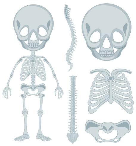 Esqueleto humano para niño
