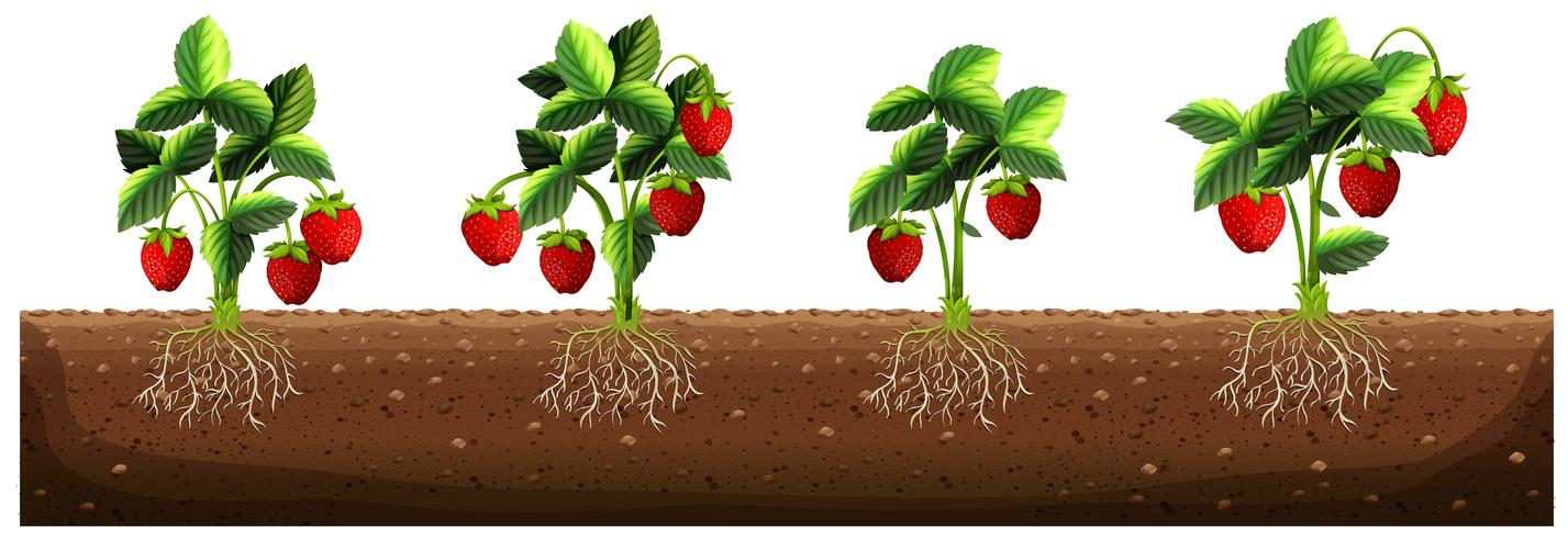 Erdbeerpflanzen auf dem Bauernhof