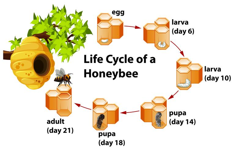 Ciclo de vida de uma abelha