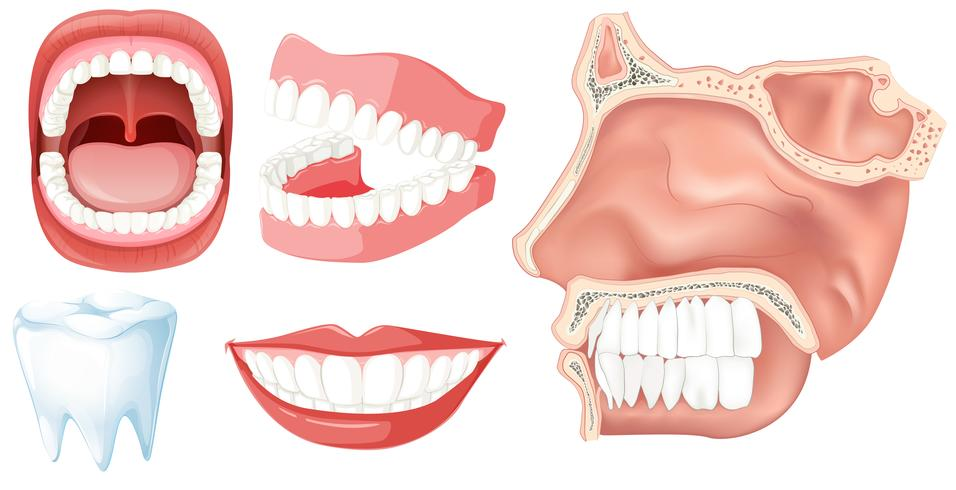 Un conjunto de dientes humanos vector