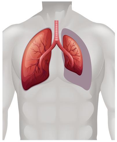 Platzierung der Lunge auf den Menschen