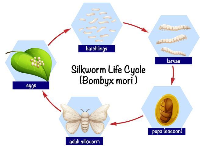 Ciclo di vita scientifico del baco da seta