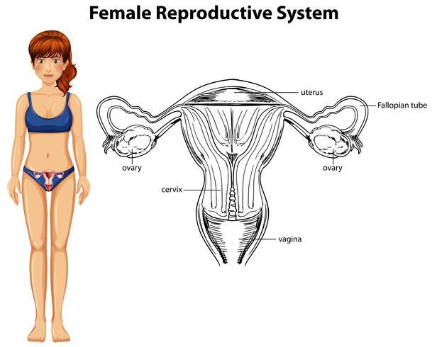 Menselijke anatomie van vrouwelijk voortplantingssysteem