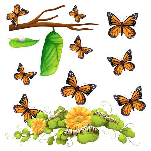 Diverse fasi della farfalla