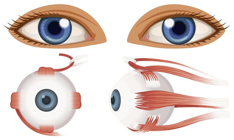 Human Anatomy of Eyeball vector