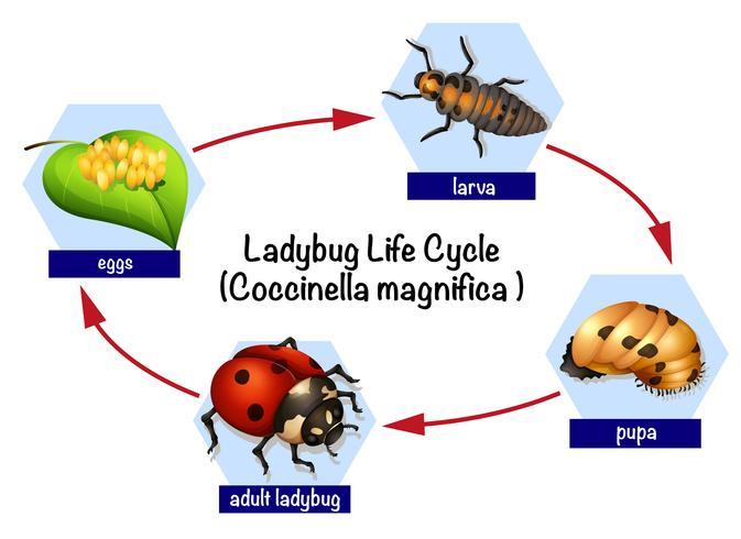 Un ciclo de vida de mariquita.