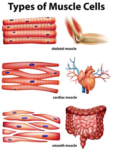 Diagram showing types of muscle cells vector