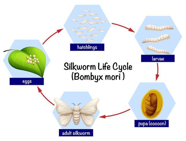 Schema del ciclo di vita del baco da seta
