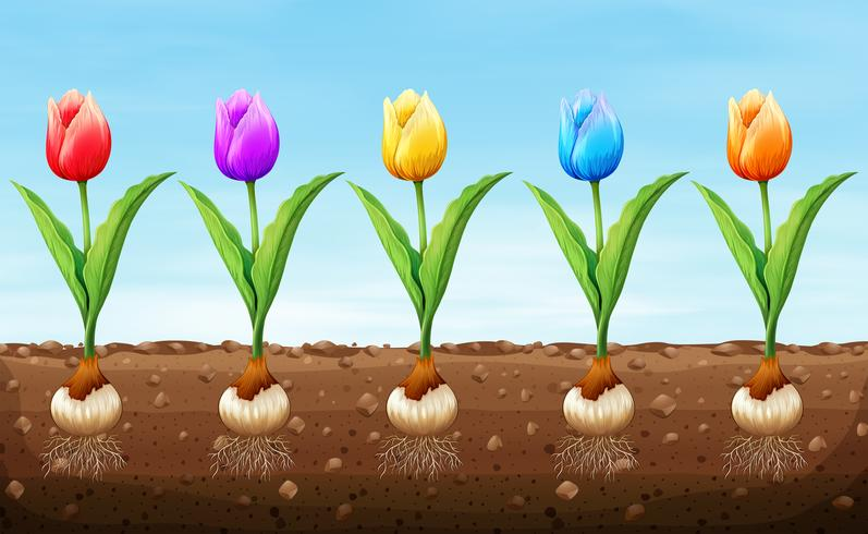 Different color tulip on the ground - Download Free Vector Art, Stock Graphics & Images