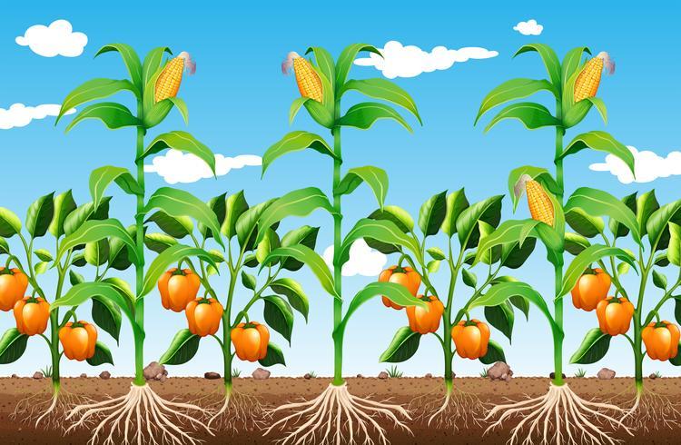 Una planta de cultivo y raíz