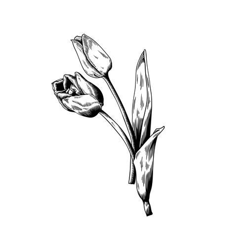 Tulpenzeichnungsblumennatur-Vektorikone auf weißem Hintergrund