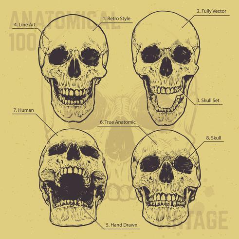 Conjunto de vectores de cráneos anatómicos