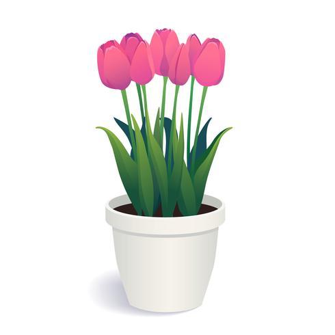 Tulipas cor-de-rosa no potenciômetro de flor branca.