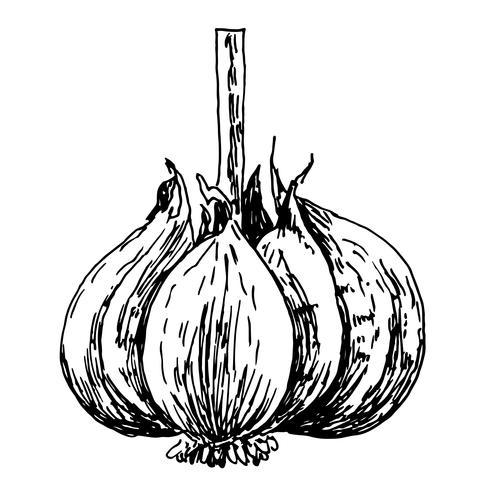 engraving illustration of garlic on white background