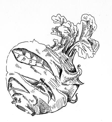 illustrazione di schizzo raccolta vettore nero bianco di cavolo rapa