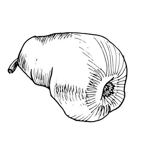 Vector y bosquejo dibujado a mano pera vintage