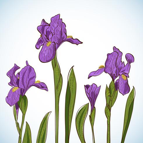 Irises, vector illustration