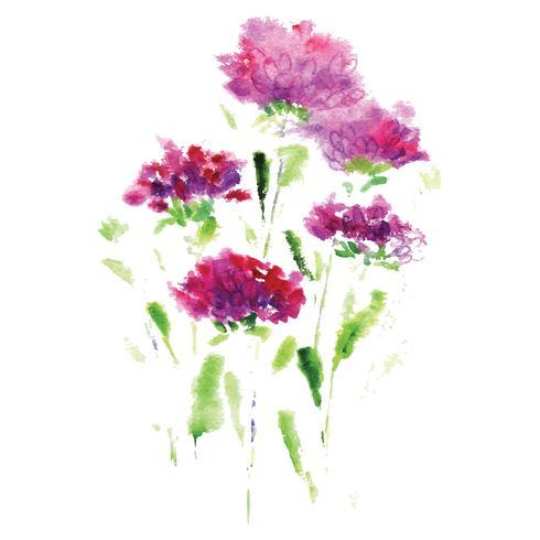flor aster rosa sobre fundo branco