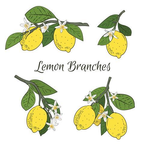 Impostare la raccolta di rami con limoni, foglie verdi e fiori. Agrumi isolati su fondo bianco. Illustrazione vettoriale
