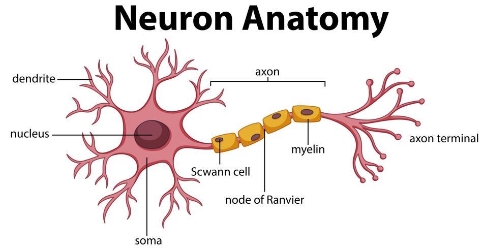 Diagramm der Neuronanatomie