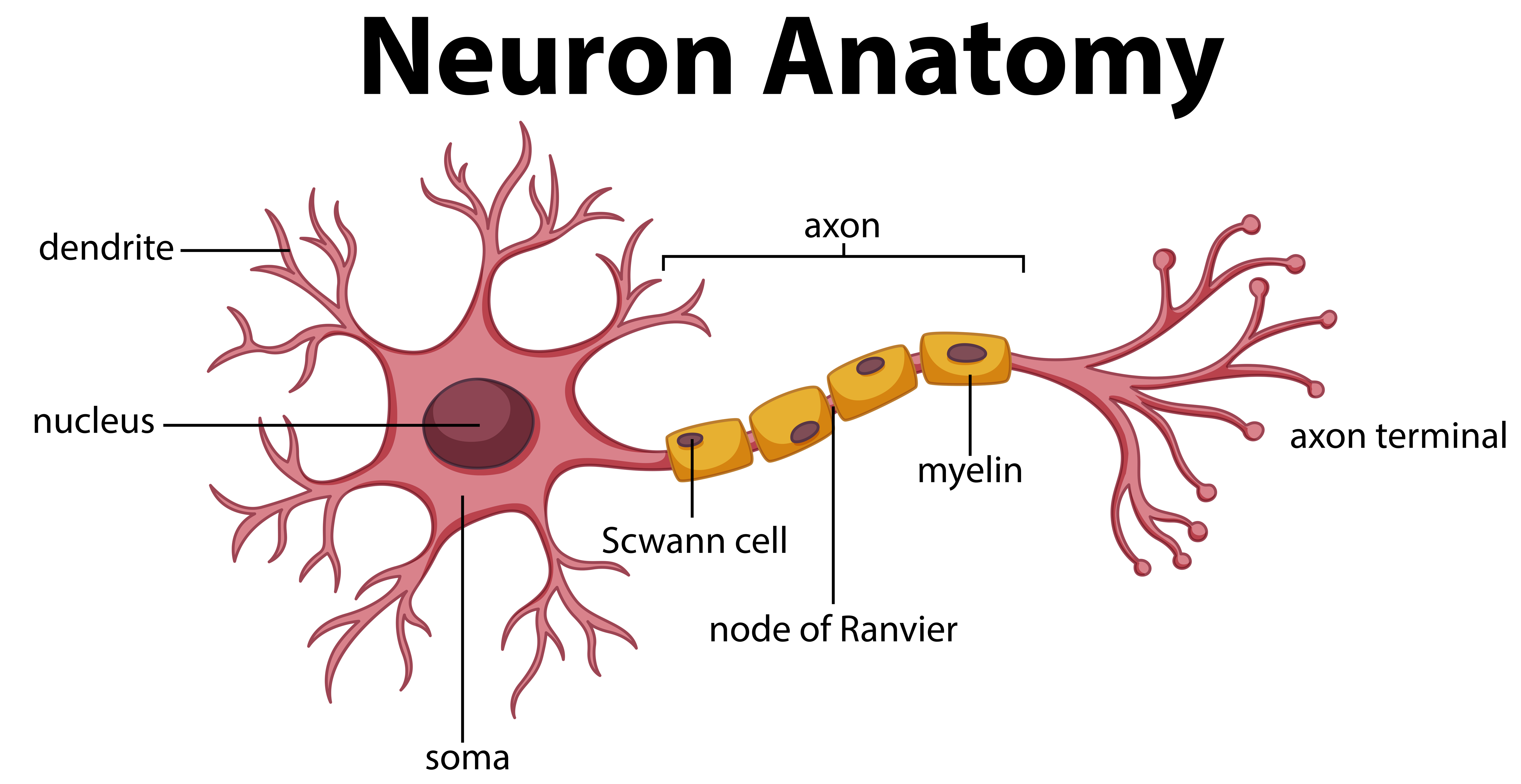 Blank Neuron Diagram