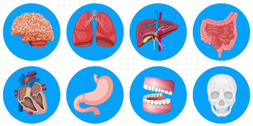 Órganos humanos en placa redonda.
