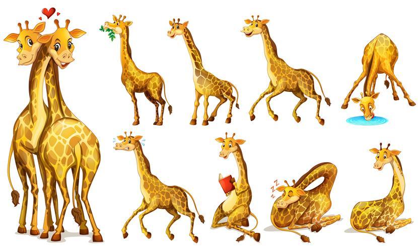 Verschiedene Positionen der Giraffen