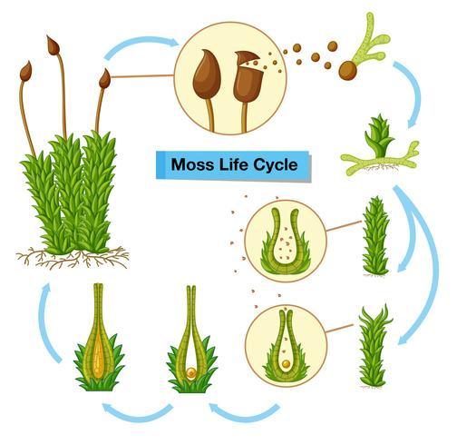 Diagramma che mostra il ciclo di vita del muschio vettore