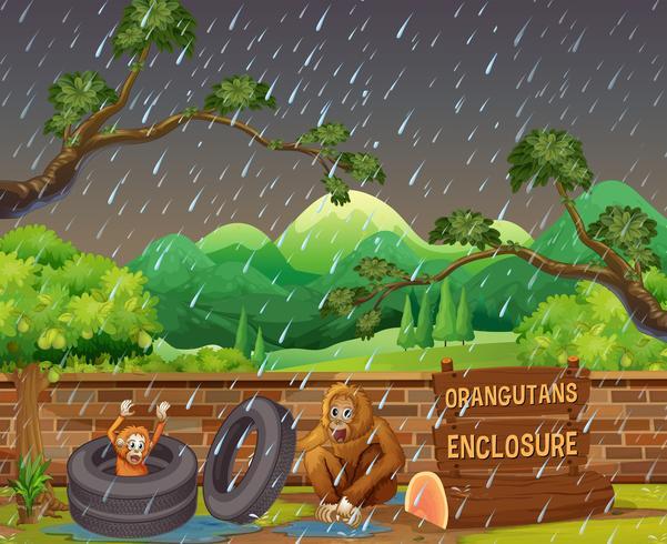 Scène avec deux orangs-outans au zoo un jour de pluie