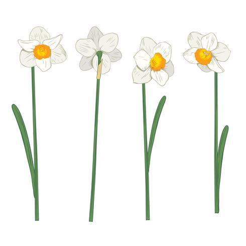 Narciso. Imposta raccolta. Illustrazione botanica disegnata a mano su fondo bianco.