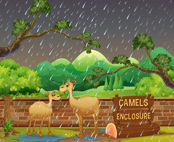 Two camels in the zoo on rainny day vector
