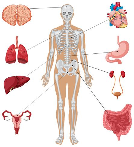 Human anatomy with different internal organs vector