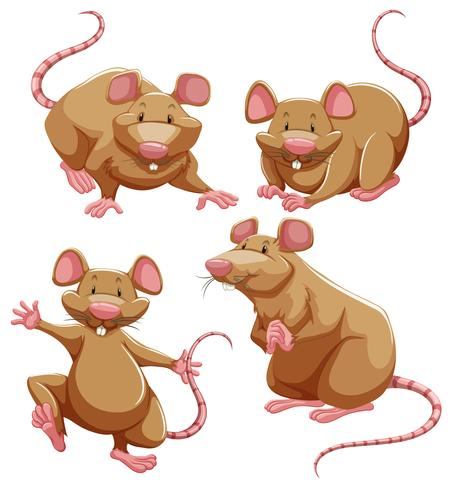 Ratto marrone in diverse pose