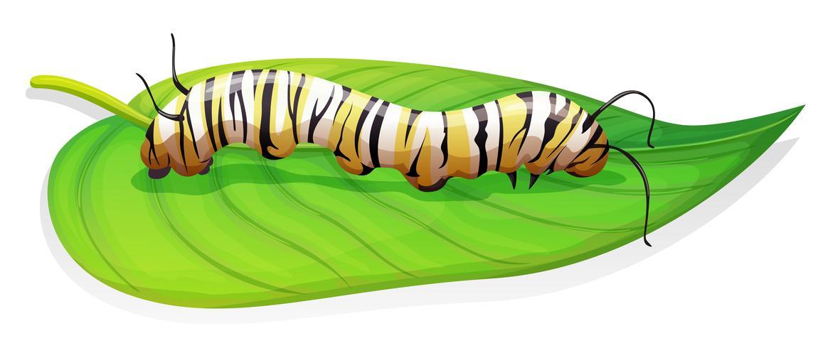 Monarchfalter - Danaus plexippus - Larvenstadium
